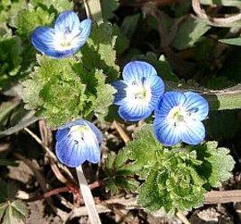 2月11日の誕生花は「オオイヌノフグリ」