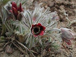 3月7日の誕生花は「オキナグサ」