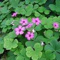 10月1日の誕生花「オキザリス」