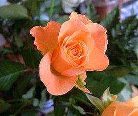 11月15日の誕生花は「薄いオレンジ色のバラ」