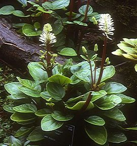 11月24日の誕生花は「ペペロミア」