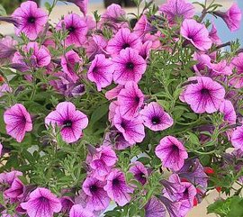 7月22日の誕生花は「ペチュニア」