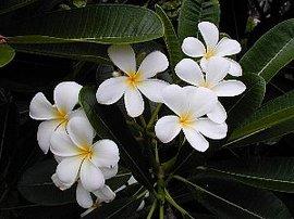 11月16日の誕生花「プルメリア」
