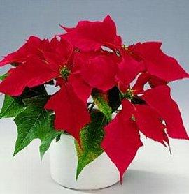 12月22日の誕生花「赤いポインセチア」