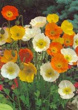3月25日の誕生花は「ケシ」