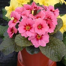 12月29日の誕生花「プリムラ・ジュリアン」