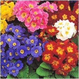 5月1日の誕生花「プリムラ・ポリアンサ」