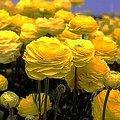 1月29日の誕生花は「ラナンキュラス」