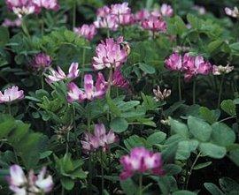 4月8日の誕生花は「レンゲソウ」