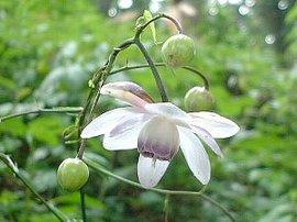 9月4日の誕生花は「レンゲショウマ」