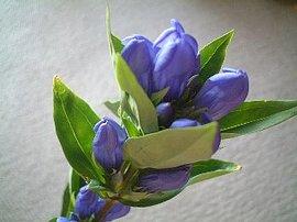 9月16日の誕生花「リンドウ」