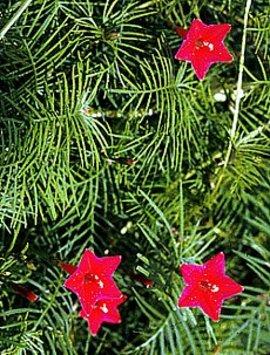 8月11日の誕生花は「ルコウソウ」