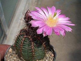 7月29日の誕生花は「サボテン」