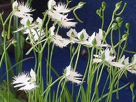 8月21日の誕生花は「サギソウ」