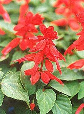 10月4日の誕生花は「サルビア」