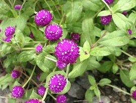 8月20日の誕生花は「センニチコウ」