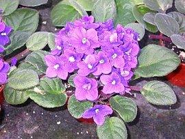 11月25日の誕生花「セントポーリア」