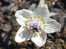 2月2日の誕生花は「セツブンソウ」