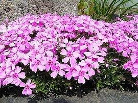 4月20日の誕生花は「シバザクラ」