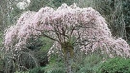 3月19日の誕生花は「シダレザクラ」