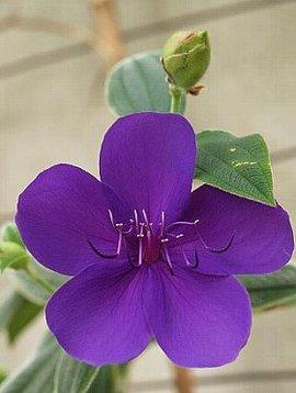 10月23日の誕生花は「シコンノボタン」