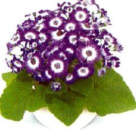12月2日の誕生花「シネラリア」