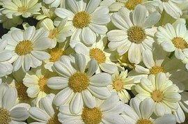 12月18日の誕生花は「白いシネラリア」