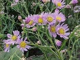 10月7日の誕生花は「シオン」