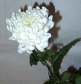 9月9日の誕生花は「白いキク」