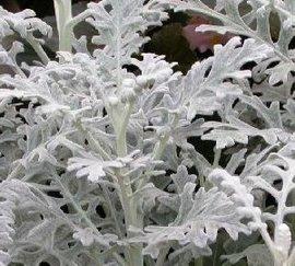 1月31日の誕生花は「シロタエギク」