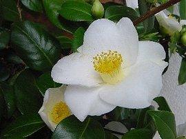 11月11日の誕生花「ツバキ(白)」