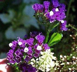11月17日の誕生花「スターチス」