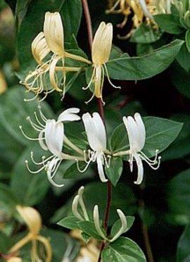 6月22日の誕生花は「スイカズラ」