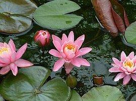 7月7日の誕生花は「スイレン」