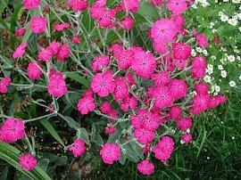 6月18日の誕生花は「スイセンノウ」