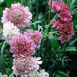 4月26日の誕生花は「スカビオサ」