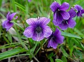 2月19日の誕生花は「スミレ」