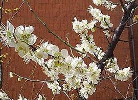 3月29日の誕生花は「スモモ」