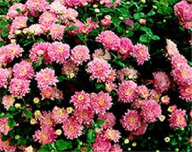 10月20日の誕生花は「スプレーギク」