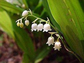 5月2日の誕生花は「スズラン」