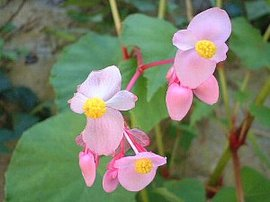 9月10日の誕生花は「シュウカイドウ」