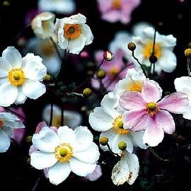 9月30日の誕生花は「シュウメイギク」