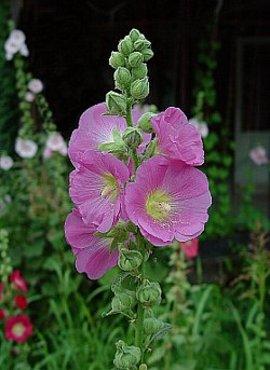 6月15日の誕生花は「タチアオイ」