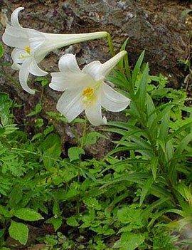 10月12日の誕生花は「テッポウユリ」