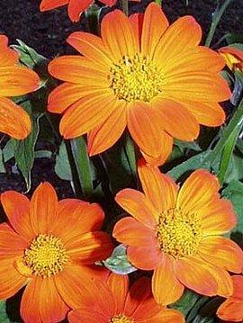10月21日の誕生花は「チトニア」