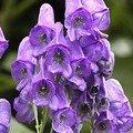 7月19日の誕生花は「トリカブト」