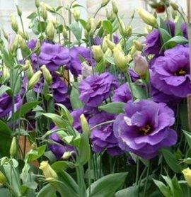 7月18日の誕生花は「トルコキキョウ」