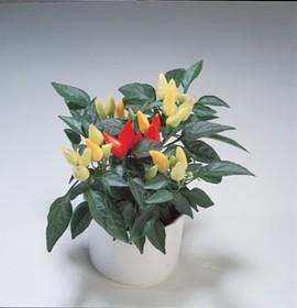10月12日の誕生花「トウガラシ」