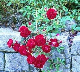 10月11日の誕生花「ツルバラ」