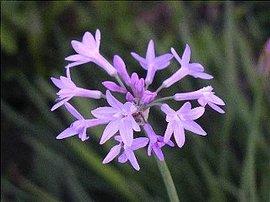 11月28日の誕生花は「ツルバキア」